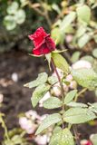 Red rose in the garden. Lonely red rose in the garden of the cloister Stock Photography