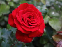 Red rose in the rose garden Royalty Free Stock Photo