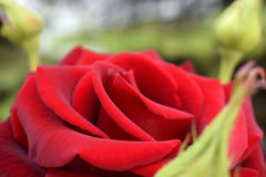 Red Rose. In the garden, macro Royalty Free Stock Image