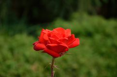 Red rose on the garden. Macro view of Red rose on the garden Royalty Free Stock Images