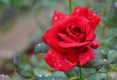 Red rose in the garden on the morning Royalty Free Stock Image