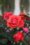 Red Rose in Garden. Natural pretty red rose flower in Garden with green leaf. This beautiful famous flower is easy to grow. It is the most popular flower for Royalty Free Stock Photography
