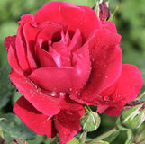 Red rose. In the garden after the rain drops on the background of green plants Royalty Free Stock Images