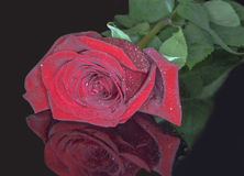 Red rose. Red garden rose with rain drops on dark background Royalty Free Stock Photography