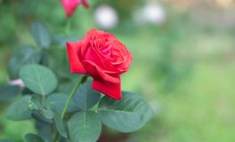 Red rose in the garden.  stock photography