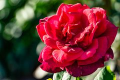 Red rose in a garden royalty free stock photo