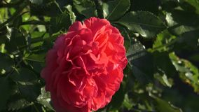 Red rose in the garden. Red roses in the park stock video