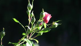 Red rose in the garden. Red roses in the park stock footage