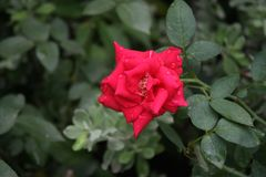 A Red Rose at Garden. It`s a nice Red Rose at Garden and Real natural photo Royalty Free Stock Images