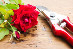Red rose and  garden shears. Royalty Free Stock Image