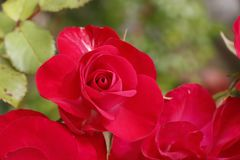 Red rose in a garden. During spring Stock Photography