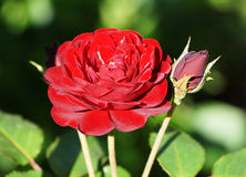 Red rose in the garden in summer. Stock Images