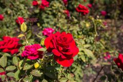 A Red Rose in the garden on a Sunny day stock photo