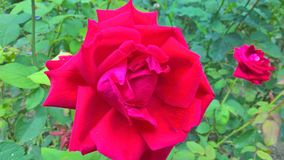A red rose in the garden royalty free stock photography