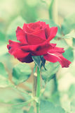 Red rose in garden, Vintage style picture processing Royalty Free Stock Photography