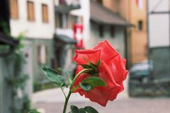 Red rose gif. Behind of a red rose Royalty Free Stock Photo