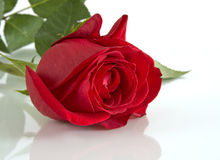 The Red rose on glass. Royalty Free Stock Photo