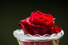 Red rose in a glass. A Red rose in a glass vase royalty free stock image