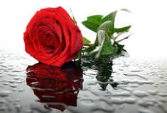 Red rose on glass with water droplets Royalty Free Stock Images