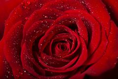 Red rose with gleam drops of water. Rose flower detail with droplets macro shot photographed from above Stock Photography