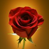 Red rose on gold. Stock Photography