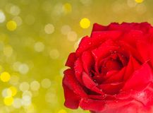 Red rose on golden bokeh background, valentine day and love concept. Red rose with drops on golden bokeh background, valentine day and love concept Stock Photography