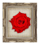 red rose on golden frame with empty grunge linen canvas Royalty Free Stock Photos