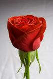 Red rose on gradient stock image