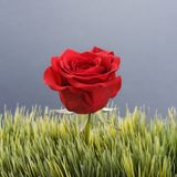 Red rose in grass. Stock Photo
