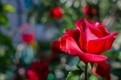 Big red rose stock photos