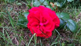 Red Rose in the grass stock images