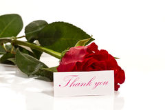 Red rose with gratitude. On a white background Royalty Free Stock Image