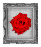 Red rose on gray frame with empty grunge linen canvas  beautiful Royalty Free Stock Image