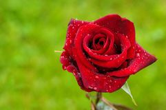 Red rose on green Royalty Free Stock Image