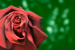 Red rose green background royalty free stock photography