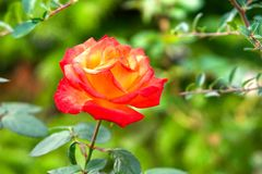 Red rose on green background stock photos