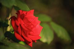 Red rose green background stock photo