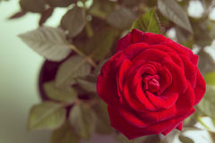 Red rose  on a green background Stock Image