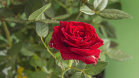 Red rose  on a green background Stock Photography