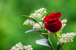 Red Rose on a green background Royalty Free Stock Images