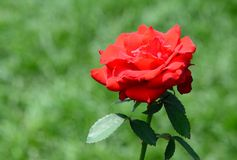 Red rose green bokeh background Royalty Free Stock Photos