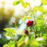 Red rose in green foliage with bokeh lights Royalty Free Stock Photography
