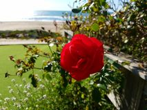 Red Rose Green Grass Beach Ocean. Red Rose bush over grass and ocean background Stock Photography