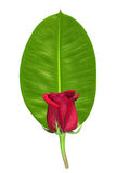 Red rose on green leaf Stock Images