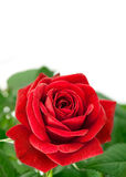 Red rose with green leaf Royalty Free Stock Image