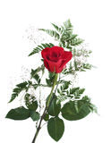 Red rose with green leafs Stock Photos