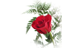 Red rose with green leafs. Over white background Stock Photography