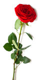 Red rose with green leaves Royalty Free Stock Image