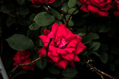 Red Rose With Green Leaves Stock Images