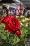 The Red Rose Stock Image
